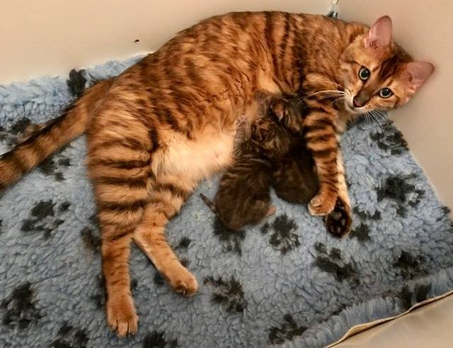 Toyger Family - Katika with Tobysden Tiago and Tobysden Tango