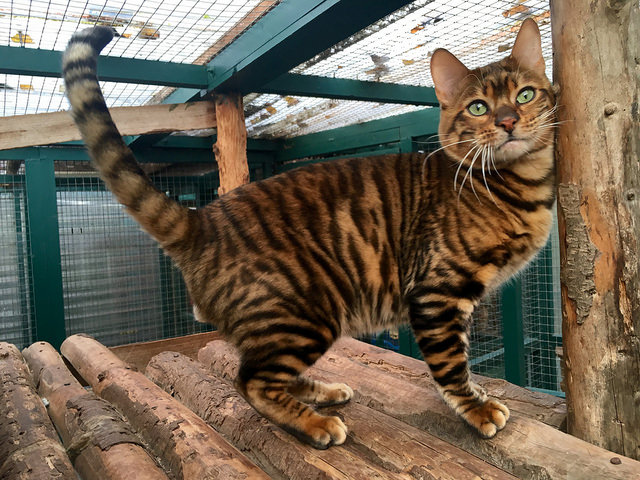 Ted Mistymogwai Knight Indarksatin Toyger Male Sire Adult stripe wood Tobysden