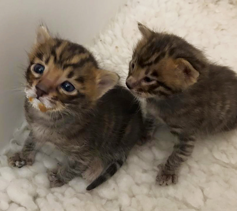 Toyger - Toyger Kittens For Sale Uk Fancy Project On Www shv