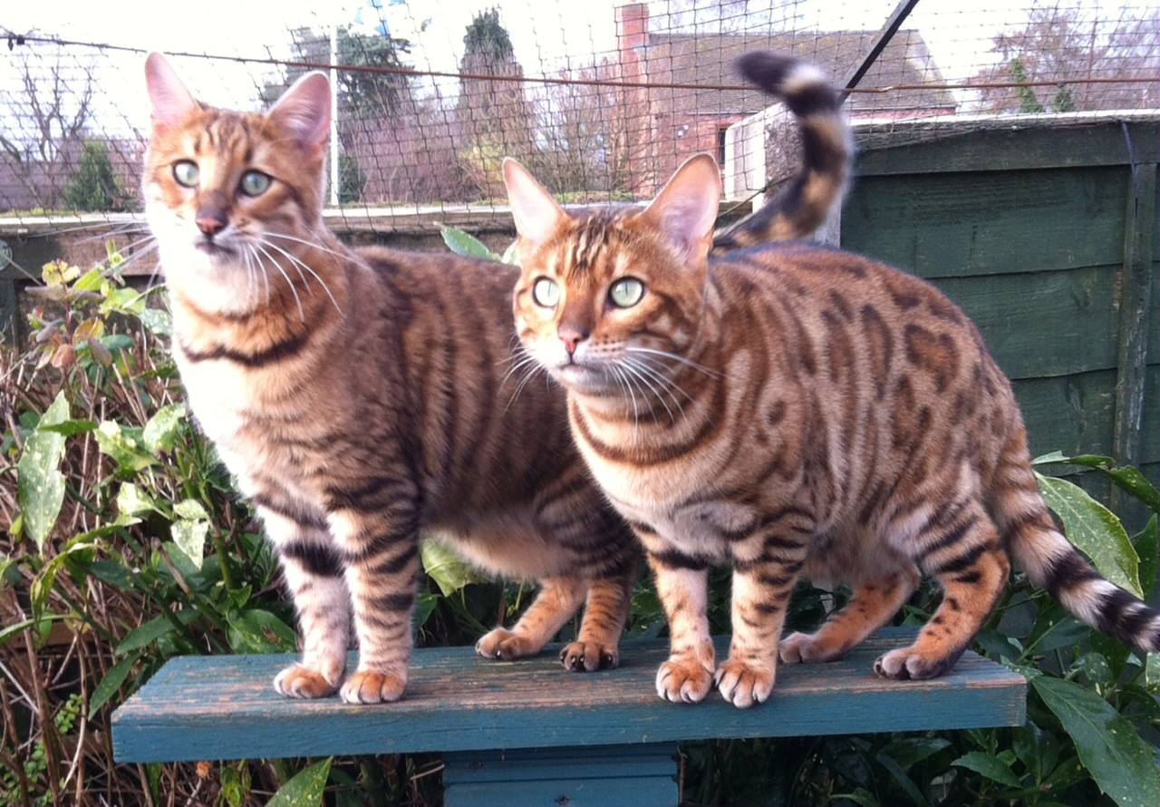Toyger and Bengal - Tigervisions Katika and Tobysden Pyrrha