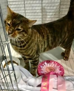 Toyger Male Show Rosette Award Pink Mistymogwai Knight Indarksatin Tobysden Toyger Cat Club