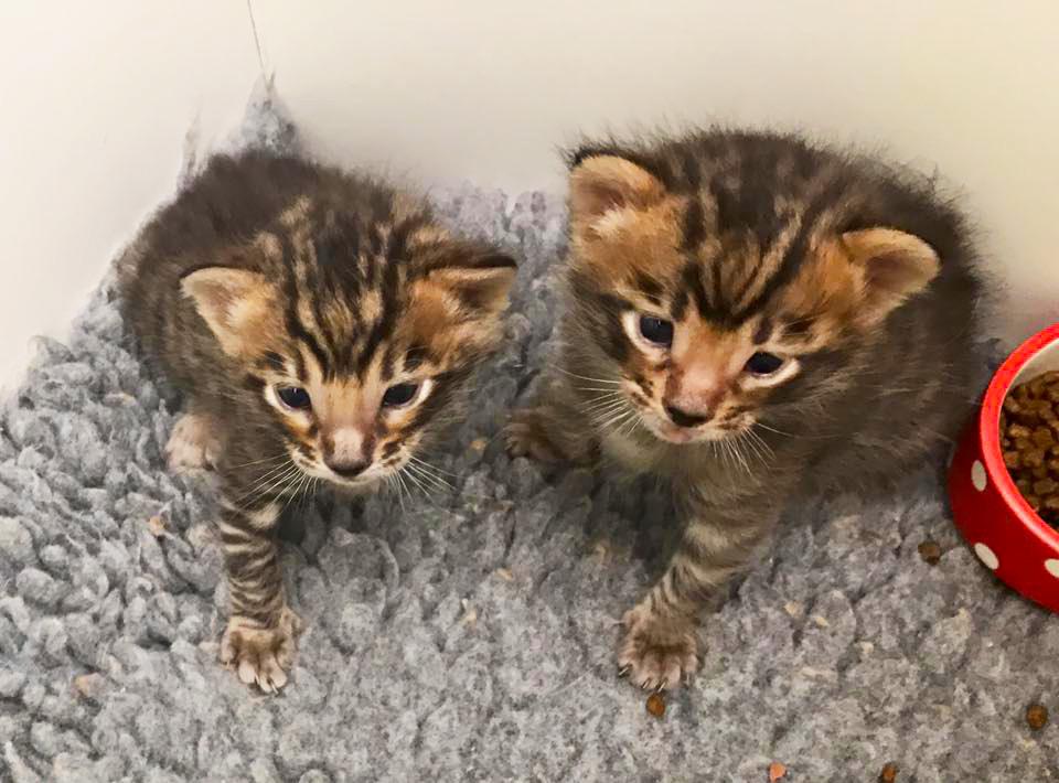 Toyger Kittens - Tobysden Tiago & Tobysden Tango