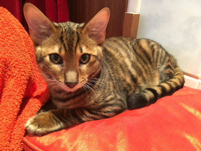 Tobysden Sir Tegyr Toyger Cat Club stripes kitten orange