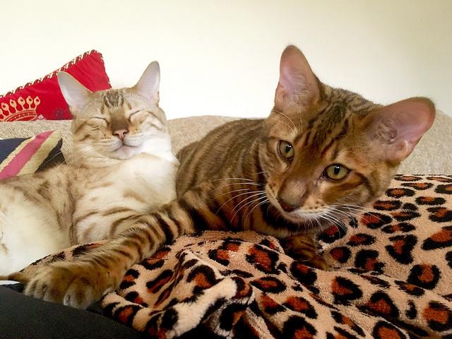 Tobysden Sir Tegyr Toyger Cat Club stripes Kodiak spots Snow Spotted Bengal kittens