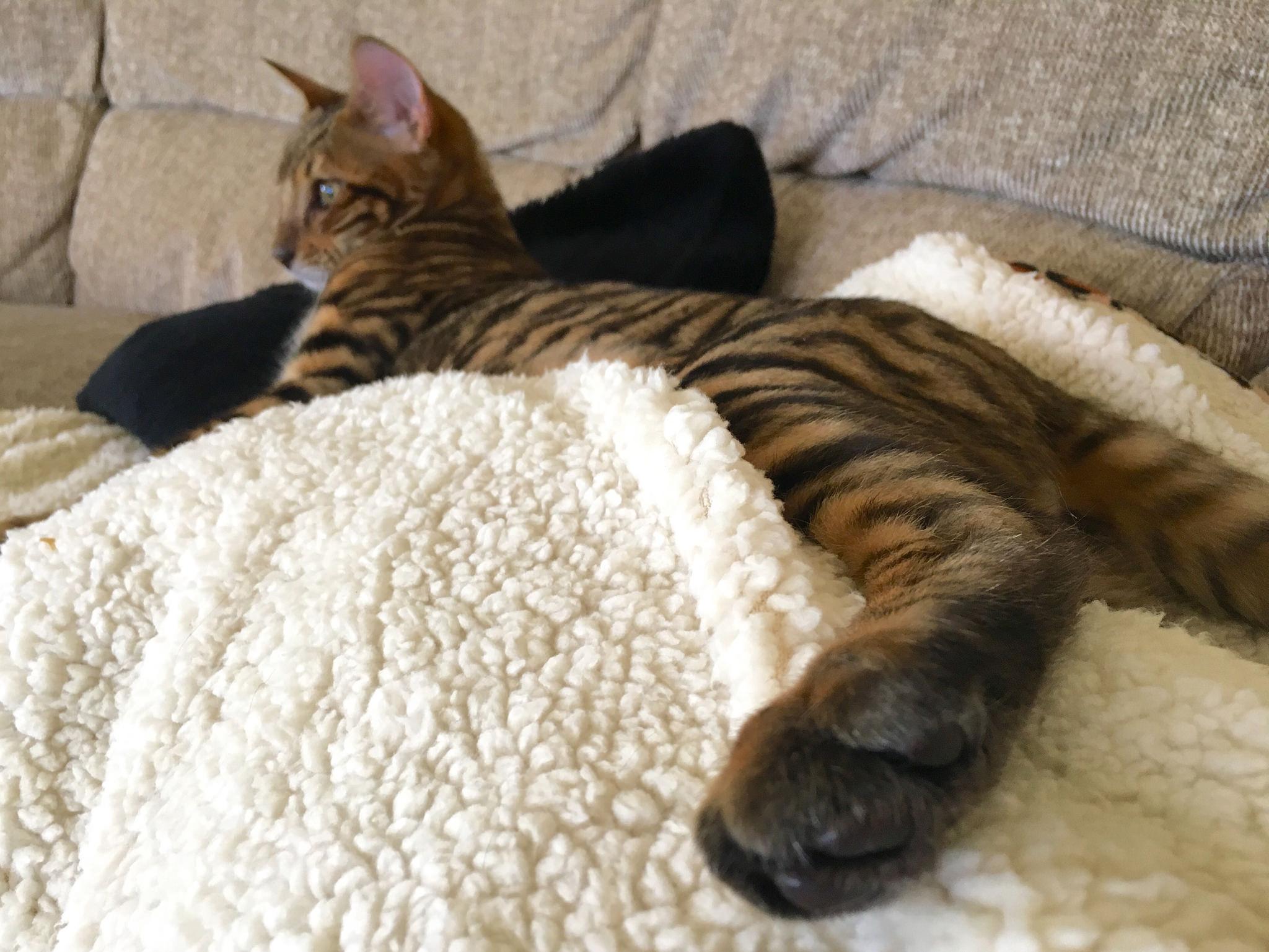 Tobysden Sir Tegyr kitten Toyger Cat Club