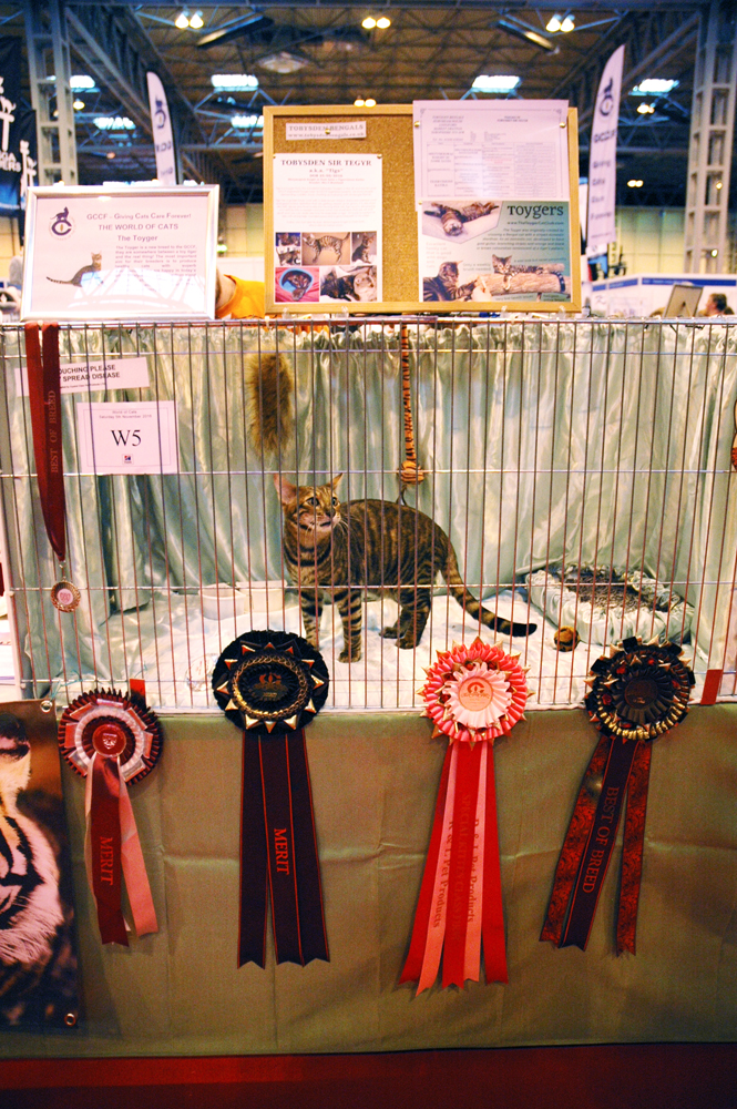 Tobysden Sir Tegyr kitten Toyger Cat Club stand National Pet Show 2016