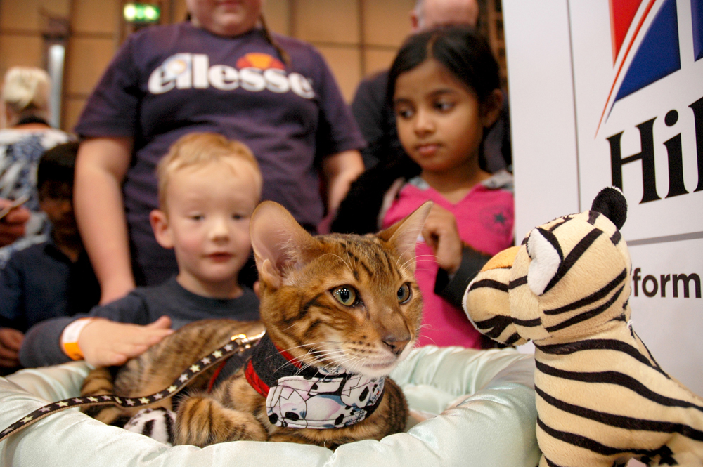 Children Teddy Tobysden Sir Tegyr kitten Toyger Cat Club stand National Pet Show 2016