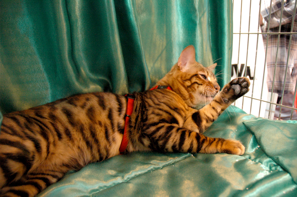 Mistymogwai Knight in Dark Satin kitten Toyger Cat Club stand National Pet Show 2016