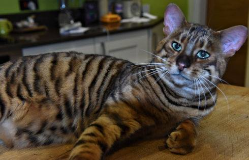 Toyger Cat Club