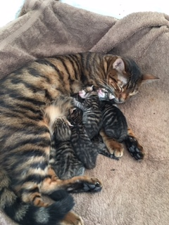 Toyger Family - Toygernook Aurora with her 5 kittens