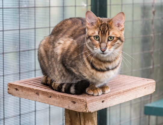 Toyger Female Tigervisions Katika Tobysden Cat Club