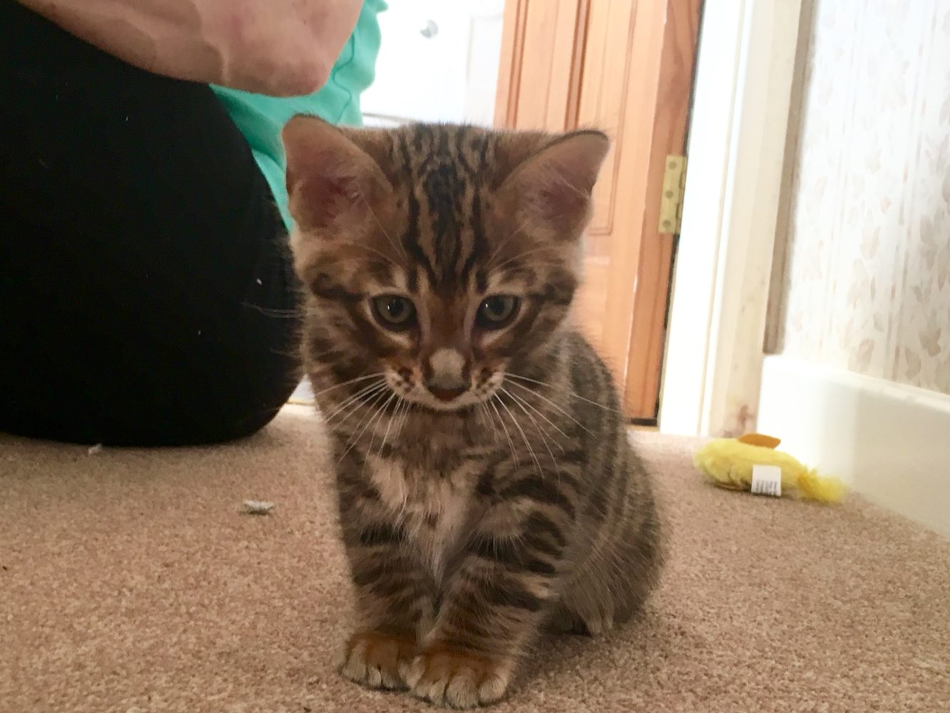 Tobysden-Toyger-Kitten-Male-2