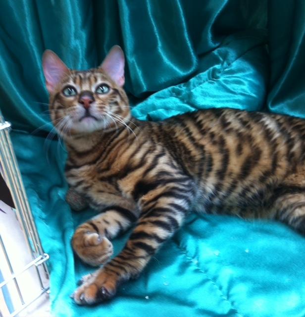 Toyger Male Mistymogwai Knight Indarksatin Tobysden satin Cat Club