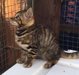 Pure Bliss Toyger kitten sale aug 17