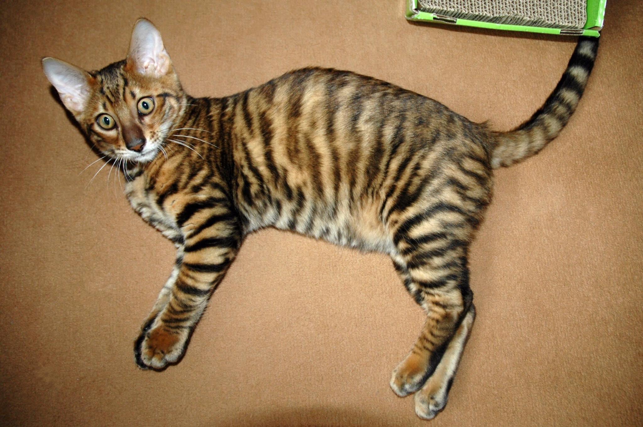 Tobysden Sir Tegyr Toyger Cat Club stripes kitten orange