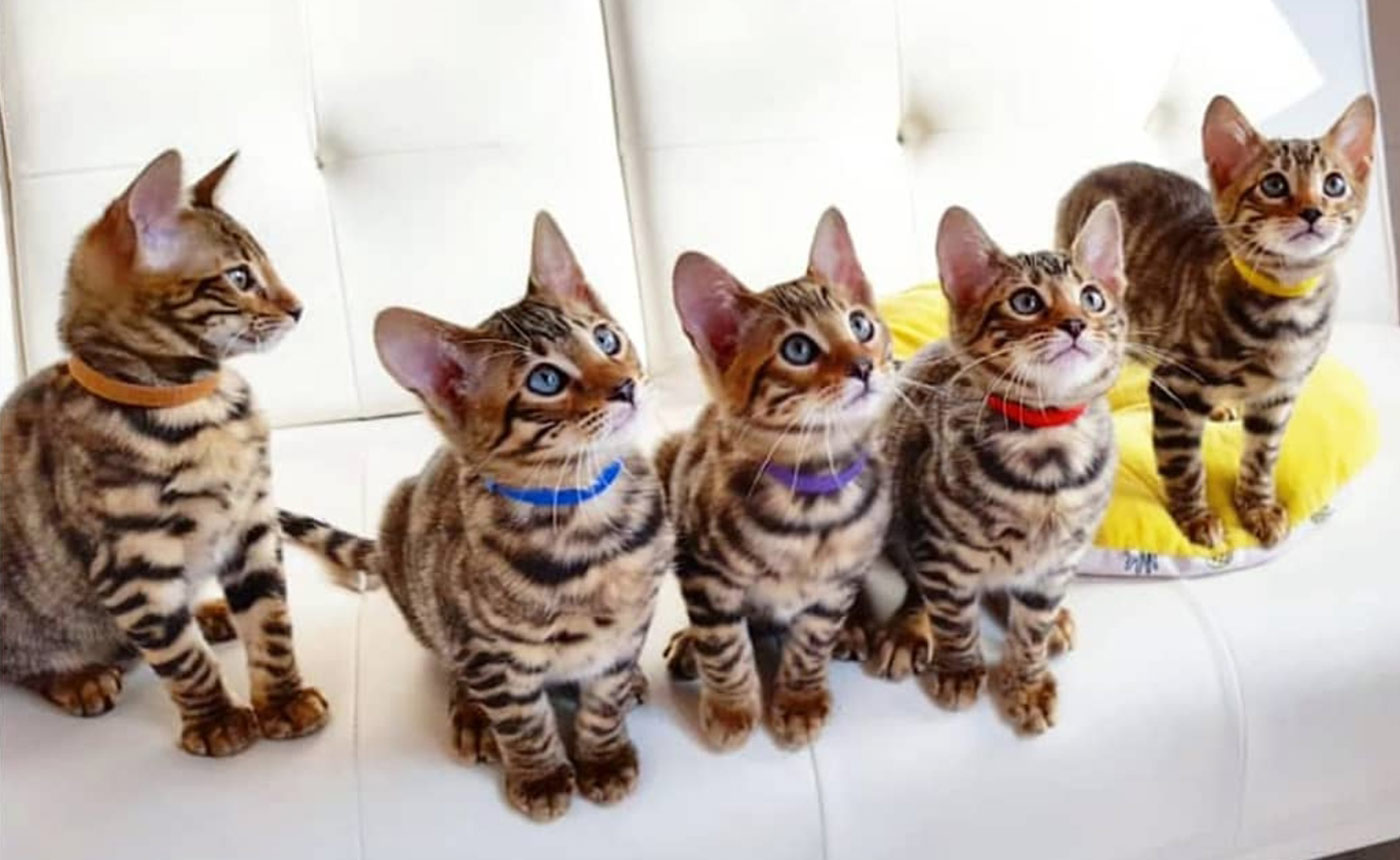 Sondaica-Toygers-Kittens-Sale-Manchester-England-UK-5