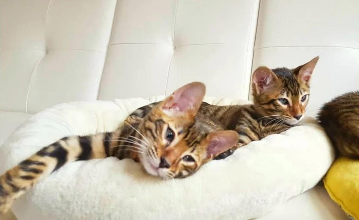 Sondaica-Toygers-Kittens-Sale-Manchester-England-UK-6