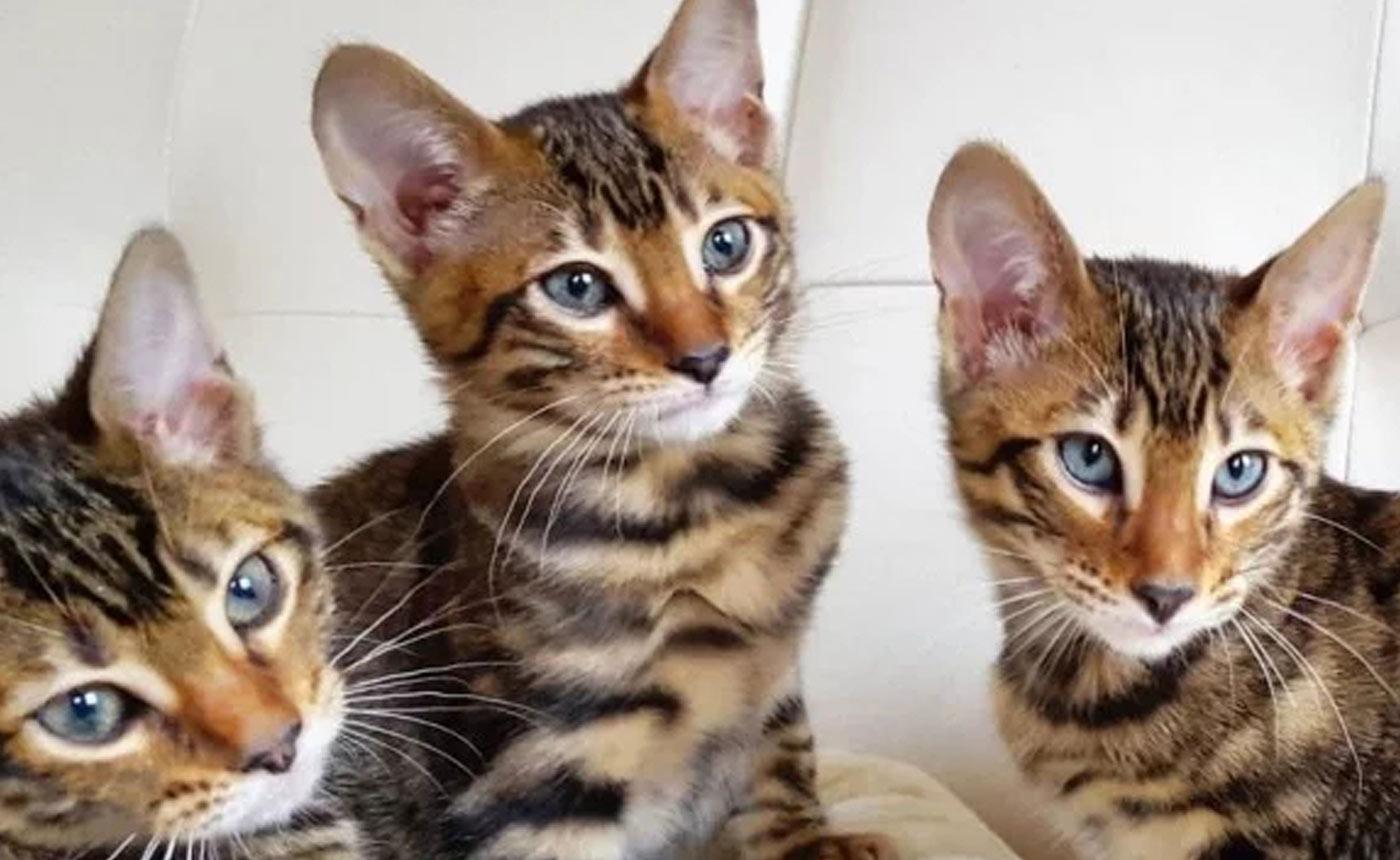 Sondaica Toygers Kittens Kitten Buy Sale Manchester England UK