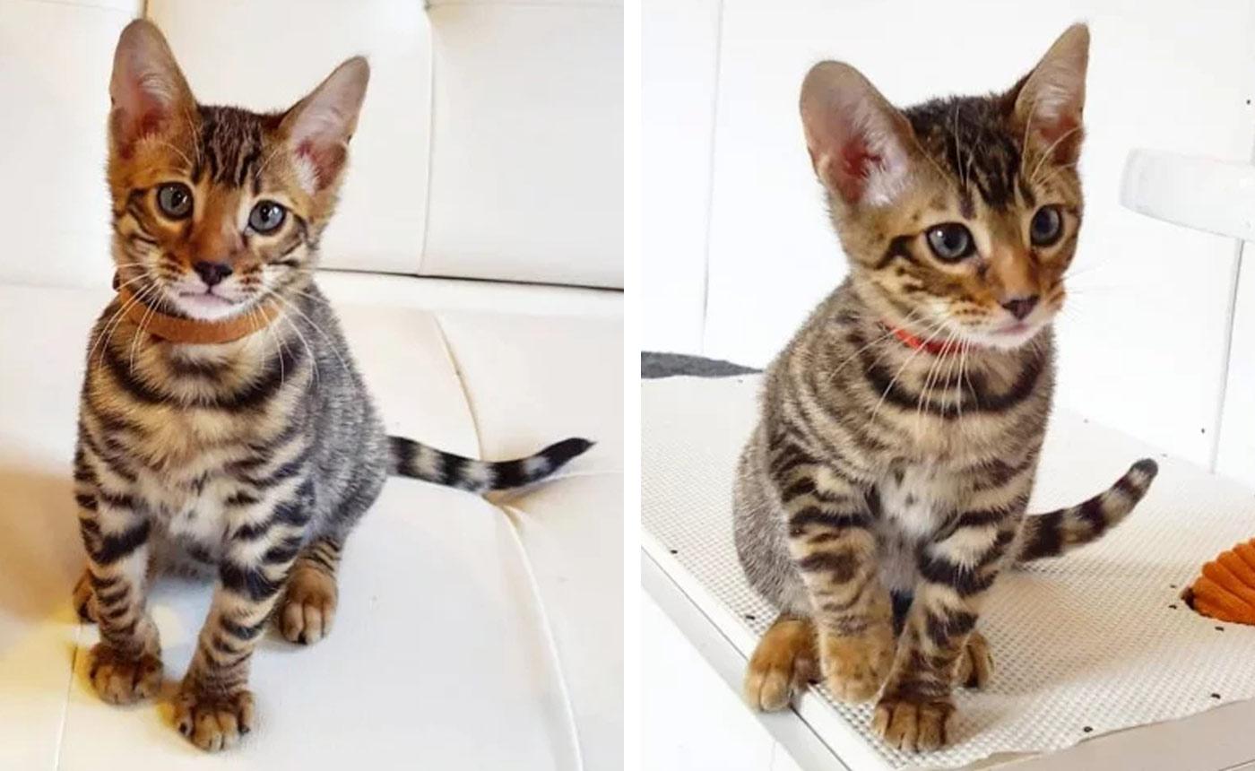 Sondaica-Toygers-Kittens-Sale-Manchester-England-UK-9